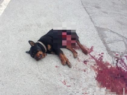 rottweiler_murder1