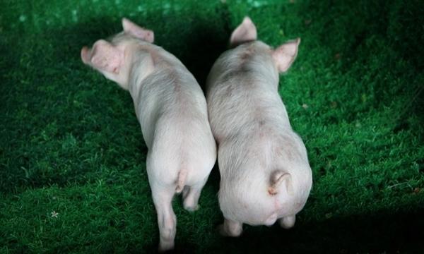 일반돼지(왼쪽)에 비해 근육이 많은 유전자교정돼지(오른쪽) (사진 : 툴젠)