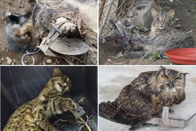 (왼쪽위부터 시계방향) 덫에 걸린 너구리, 삵, 수리부엉이 그리고 다시 삵  (사진 : 충남·충북 야생동물구조센터)