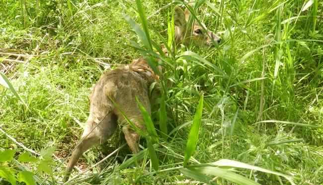 올무에 붙잡힌 고라니. 환경부에 따르면 지난해에만 11만두가 넘는 고라니가 '유해야생동물'로서 포획됐다.