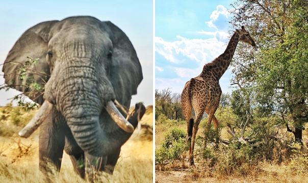 크루거 국립공원 전역에서 쉽게 만날 수 있는 아프리카 코끼리(좌), 기린(우)