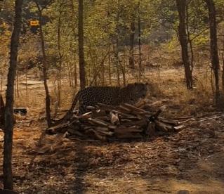 국립공원 영역을 벗어난 표범