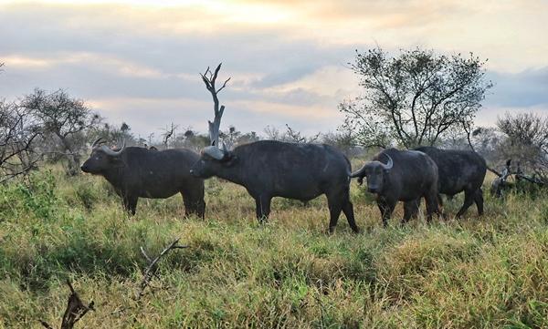 Big 5 중 하나인 아프리카물소 버팔로(Bufallo). 등에는 항상 공생 관계의 새들이 앉아 있다.