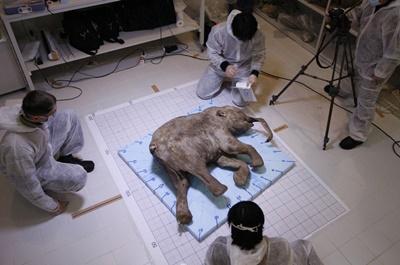 그림 6 종 보존 연구대상인 시베리아에서 발견된 새끼 매머드(http:// iberianature.com/ wildworld/ guides/ wildlife-of-russia/baby-mammoth/)