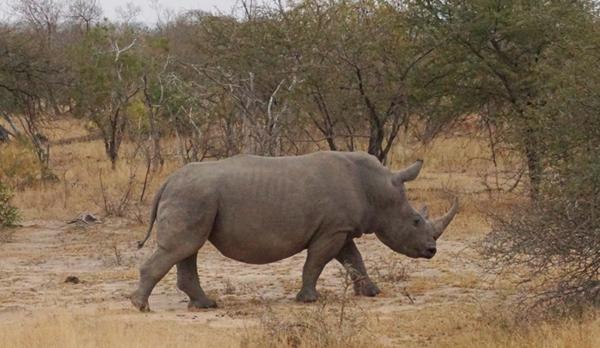 검은코뿔소(Black rhino), 흰코뿔소(White rhino) 모두 회색이다.  이 친구는 흰코뿔소인데, 검은코뿔소는 훨씬 보기 어렵다고 한다.