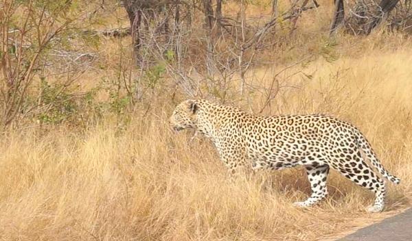 Big Cat 중 하나인 표범. 가잔 큰 Big Cat인 사자 다음으로 크다.  로젯무늬로 치타와 구분할 수 있다.