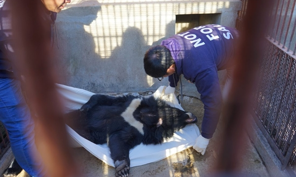 7일 농장에서 구조되는 사육곰 (사진 : 녹색연합)