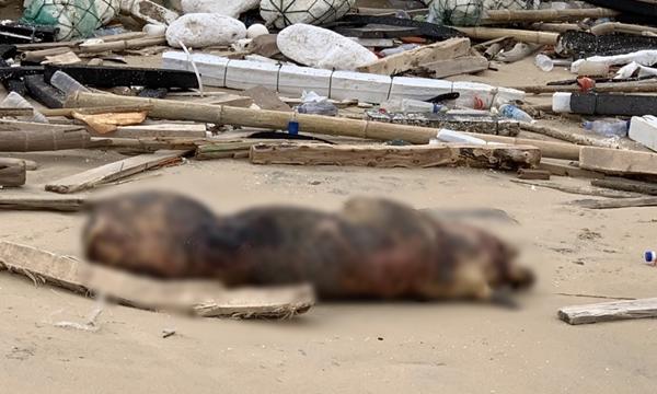 대만 킴먼섬 해변에서 발견된 ASF 감염 돼지 사체 (사진 : 대만 농업위원회)