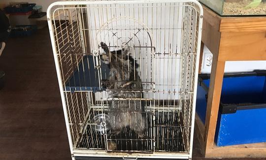 새장에서 사육되는 라쿤. 극심한 정형행동을 보였다고 한다. 자료 - 동물복지문제연구소 어웨어