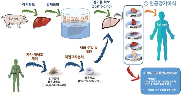 그림 4 동물장기와 자신의 체세포를 이용한 인공장기의 생산기술 모식도