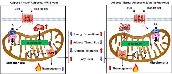 바이페린 단백질이 지방세포의 미토콘드리아 지방산 산화 과정을 제어하는 기전 (자료 : 서울대학교)