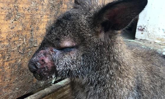 세균성 골수염에 감염된 왈라비. 사육되는 캥거루과 동물에서 죽음을 부르는 가장 흔한 질병이다.