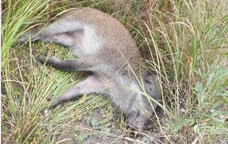 아프리카돼지열병이 검출된 DMZ 내 멧돼지 폐사체 (사진 : 환경부)