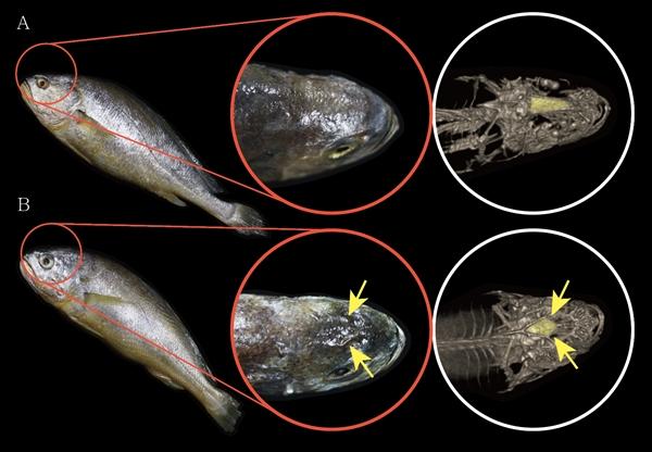 그림2. 부세조기와 참조기 골격복원 A. 부세조기는 전두골의 융기구조가 11자 형태로 형성돼 외관상 다이아몬드 문양이 보이거나 만져지지 않는다. B. 참조기는 전두골의 융기구조가 다이아몬드 형태로 명확히 형성돼 외관상으로도 문양이 보이거나 만져진다.