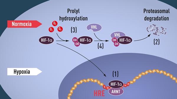 (1) 산소 농도가 낮으면 HIF-1α는 분해되지 않고 핵에 축적된다. ARNT와 결합해 저산소증 조절 유전자의 특정 DNA 서열(HRE)에 결합한다 (2) 산소 농도가 정상 수준이면 HIF-1α는 프로테아좀에 의해 분해된다 (3) 산소는 HIF-1α에 hydroxyl groups(OH)를 첨가해 분해과정을 조절한다 (4) VHL 단백질은 HIF-1α의 복합체를 인식해 산소의존적 방식으로 분해를 유도할 수 있다 (자료 : 노벨상위원회 홈페이지)