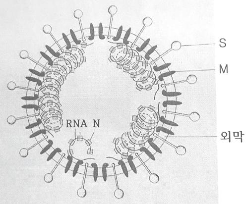 그림 1. 코로나바이러스의 S, M, N 항원 단백질.